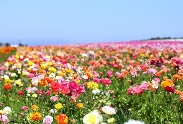 Spring Wildflower Hikes: For guananteed blossoms, head to the cultivated fields in Carlsbad