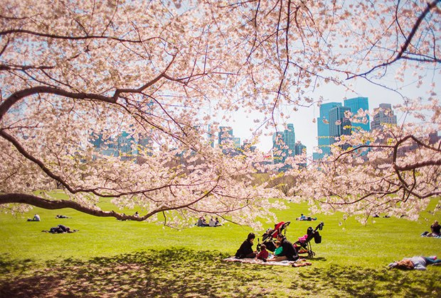 cherry blossoms in Central Park.
