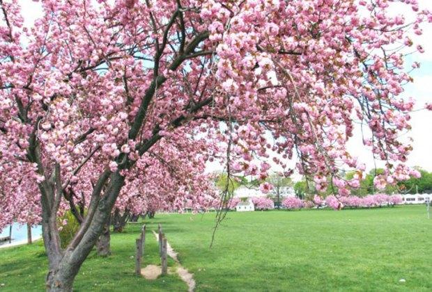 Harbor Island Park Cherry Blossoms