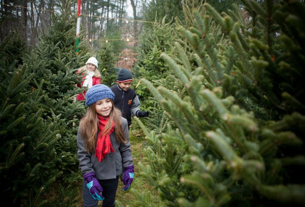 Where To Cut Your Own Christmas Tree Near Boston