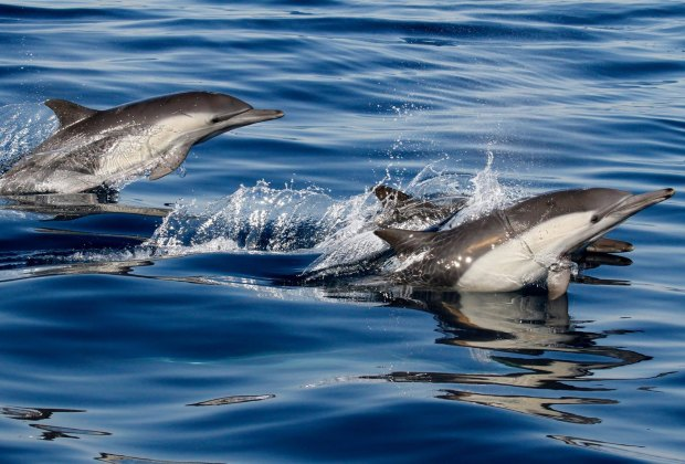 Whales aren't all you see on a whale watch - check out this playful dolphin pod.