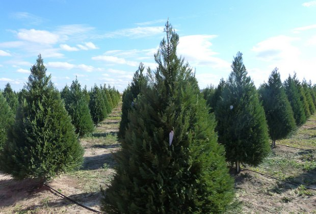 Cut Your Own Christmas Tree Near Me.5 Houston Area Farms For Cutting Your Own Christmas Tree