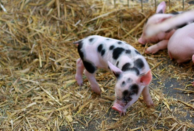 Adorable piglets at the Fete du Pays