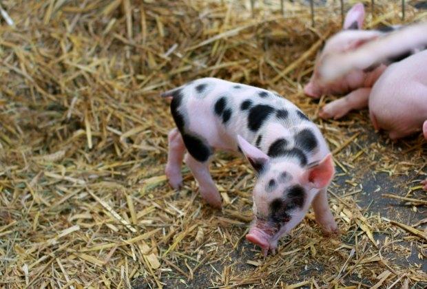 Adorable piglets at the Fete du Pays