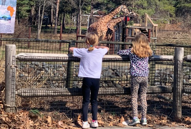 giraffe watching at Franklin Park Zoo