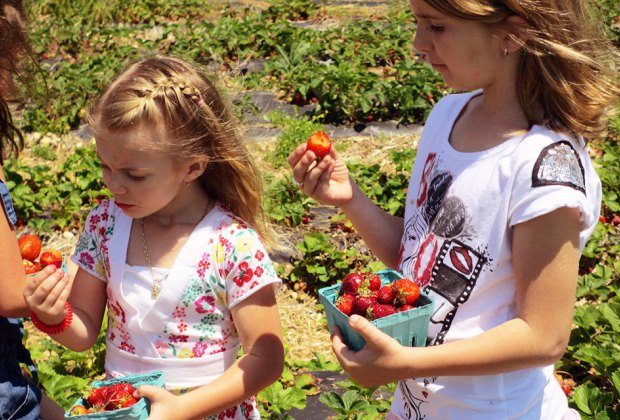 girls picking and eating strawberries in a field