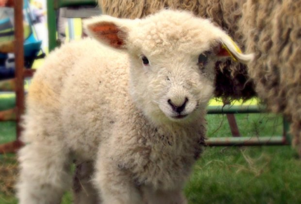 8 Sheepshearing and Wool Festivals in New England