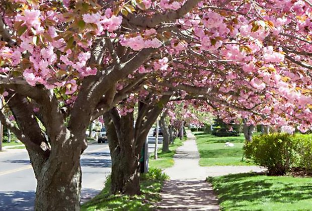 Cherry blossom lined streets are a sprintime treat in Greenport