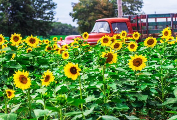 Red truck in a sunflower field at Happy Day Farm