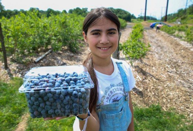 Blueberry picking at Happy Day Farm