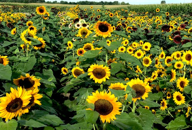 a field of sunflowers Gorgeous Sunflower Fields for Pick-Your-Own Flowers near Chicago