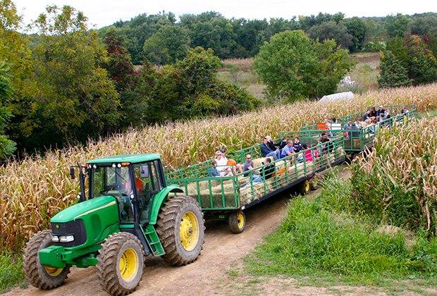 A tractor pulls hayride passengers through a corn field