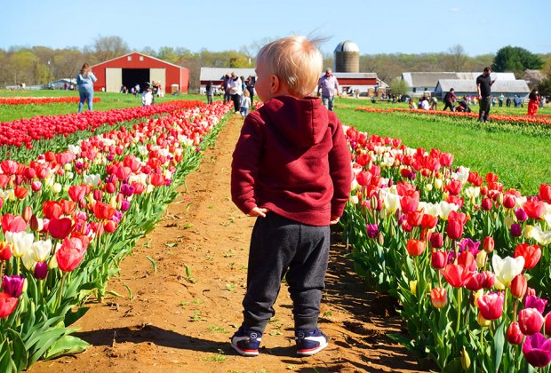 Little boy toddling between rows of tulips at Holland Ridge Farms