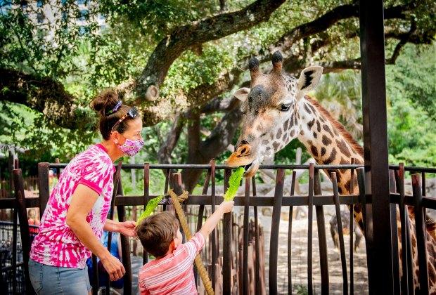 Houston Zoo feeding giraffes