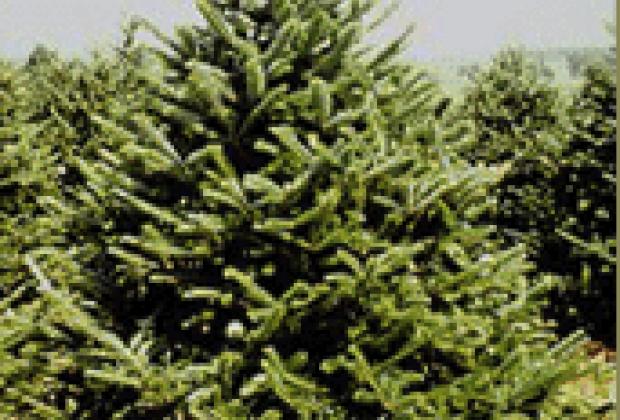 Organic Christmas Trees Long Island