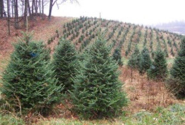 Plantable Christmas Tree.Living Christmas Trees La S Green Christmas Choice