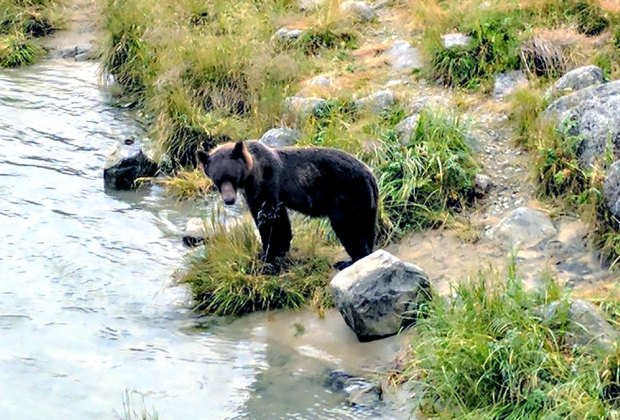 It will be impossible to visit Haines without seeing a bear (or many)!
