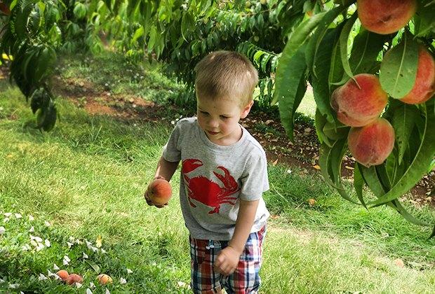 Peach picking at Alstede Farms