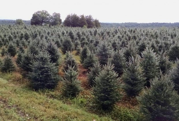 Christmas Tree Farms In Fairfield County Ct Mommypoppins Things To Do In Connecticut With Kids