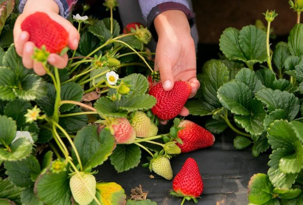 Pick Your Own Strawberries in LA: Kenny's Strawberry Farm
