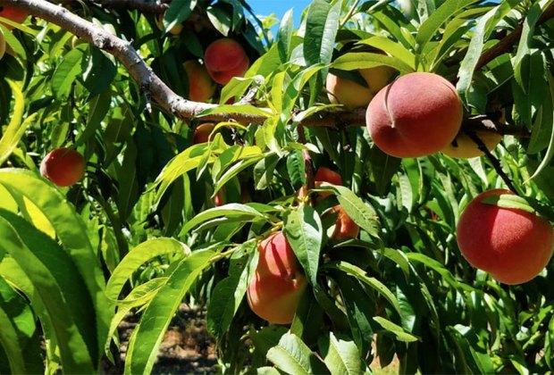 Organic Peach Picking Long Island