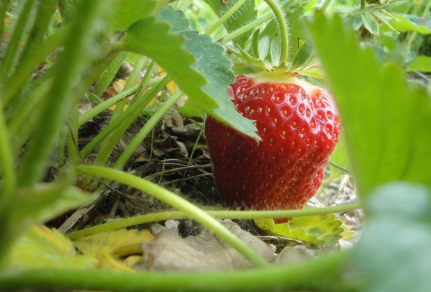 Strawberry Picking Farms On Long Island