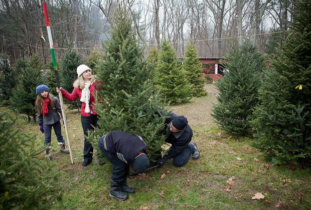 Cut Your Own Christmas Tree.Cut Your Own Christmas Tree Farms On Long Island