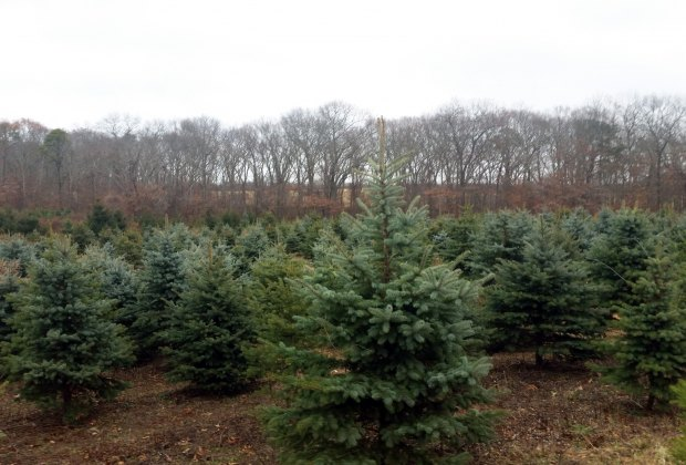 Lewin Farms has plenty of cut-your-own Christmas trees