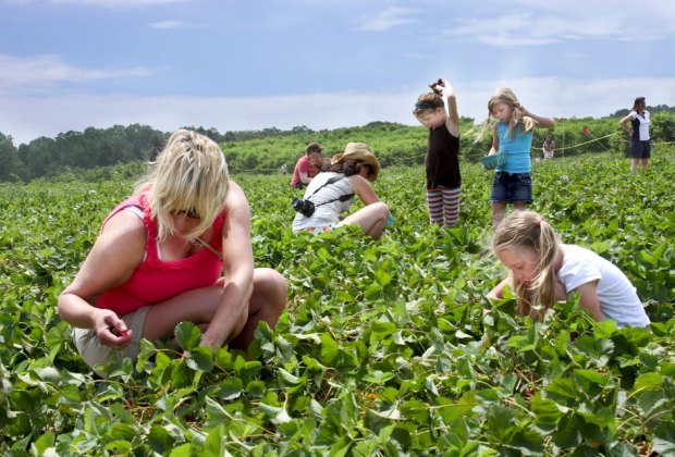 strawberry picking at Linvilla Orchards