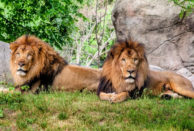 All hail the kings of the Kalahari Kingdom at the Franklin Park Zoo