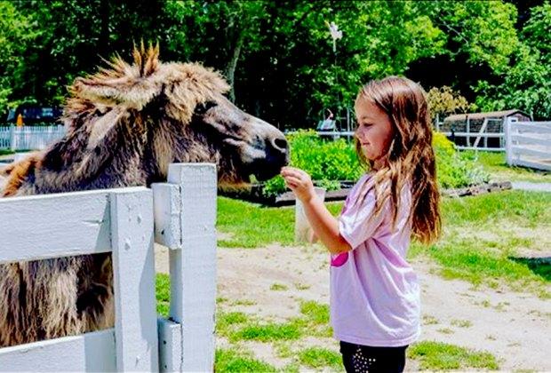 Girl feeds an alpaca at The Long Island Game Farm