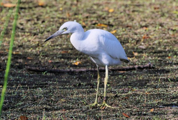 Wildlife Hikes for Kids  in Los Angeles: Little Blue Heron at the Madrona Marsh.
