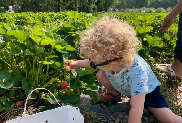 strawberry picking at Maple Acres