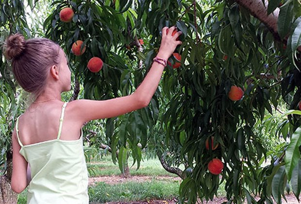 Girl picks peaches at Melick's Town Farm