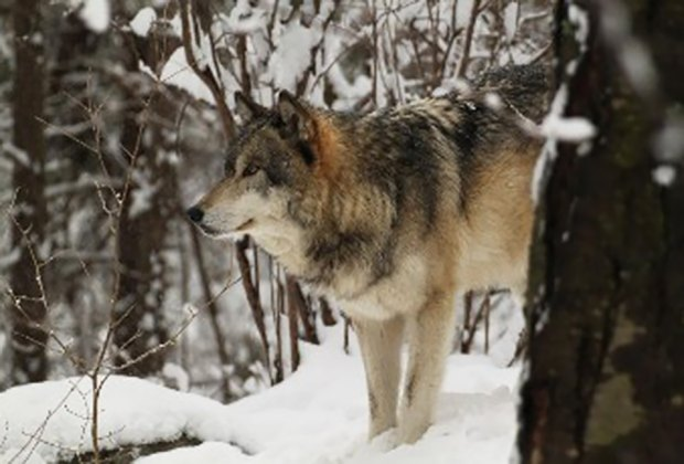 The Lakota Wolf Preserve is an awesome winter day trip destination