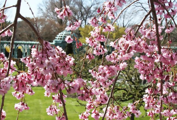 cherry blossoms at Old Westbury Gardens