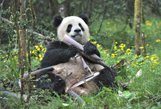 """A giant panda named Qian Qian eats bamboo at her home in the Liziping Nature Reserve in the new IMAX® film, """"Pandas"""". Photo by Drew Fellman courtesy of Warner Bros. Entertainment Inc."""