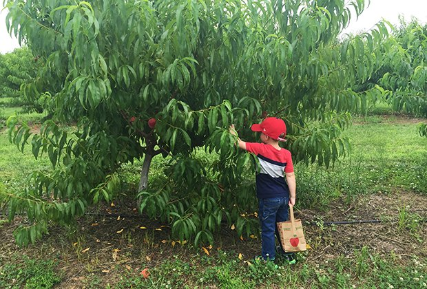 Boy picks peaches at Terhune Orchards on a NJ summer day trip