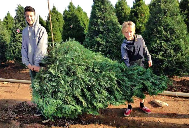 Cut Your Own Christmas Tree.Cut Your Own Christmas Tree This Year Southern California