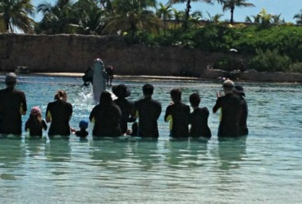 A resident dolphin performing during a shallow water interaction at Dolphin Cay.