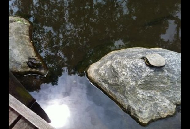 A turtle and frog chilling in the freshwater pond