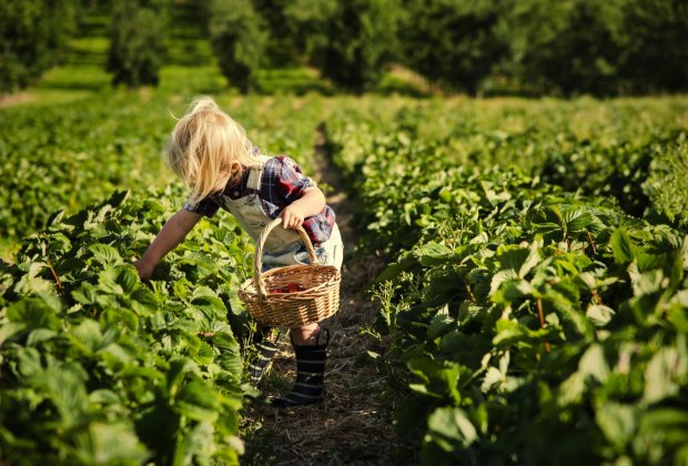 strawberry picking at Shady Brook Farm
