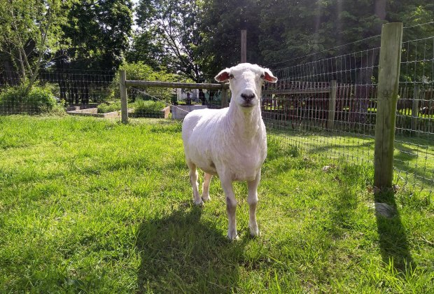 a sheared sheep at the Queens County Farm Museum