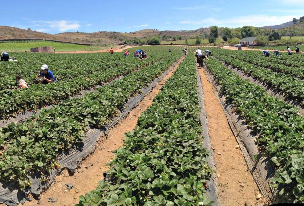 Pick Your Own Strawberries in LA: Tanaka Farms