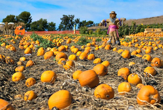 Tanaka Farms Pumpkin Patch with scarecrow