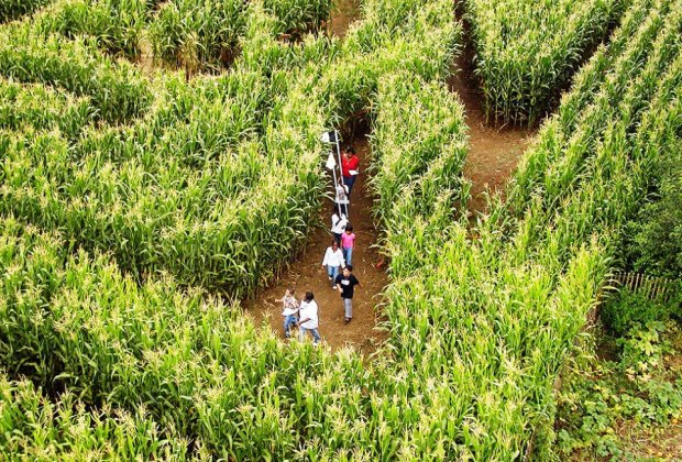 Visitors navigate the corn maze at the Queens County Farm Museum