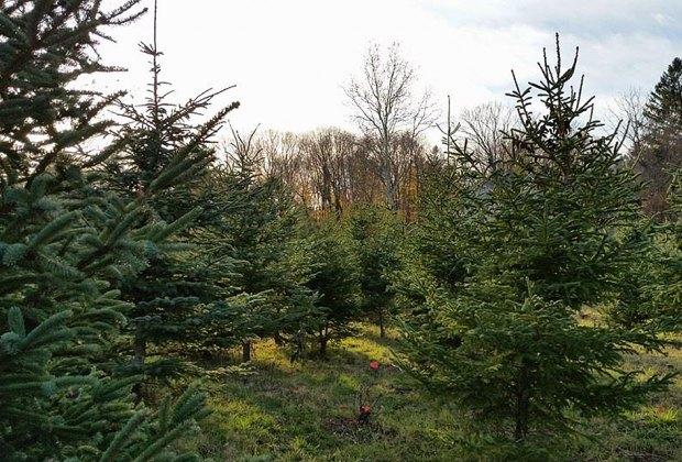 Elmwood Christmas Tree Farm Christmas Tree Farms Near NYC