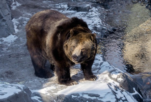Brown Bear at Central Park Zoo STEM Matters