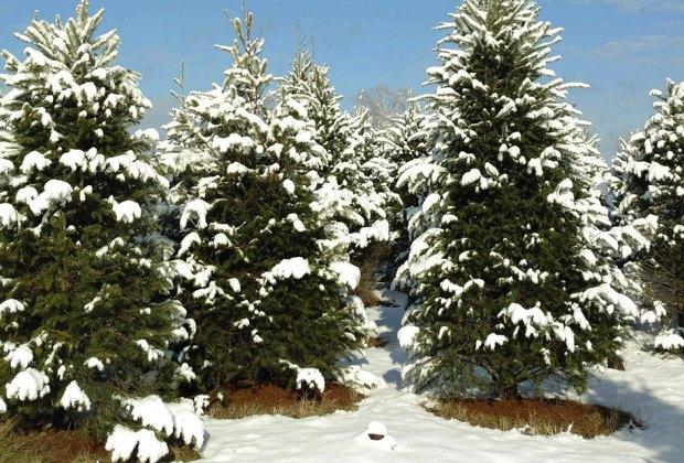 Wilkens Fruit Farm Christmas Tree Farms Near NYC