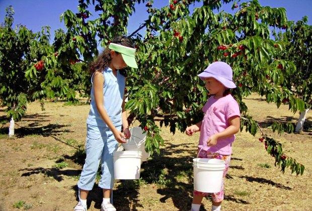 cherry picking at Windy Ridge Ranch